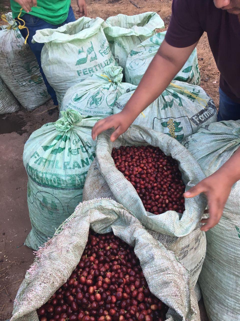 el-salvador-picked-coffee-cherries